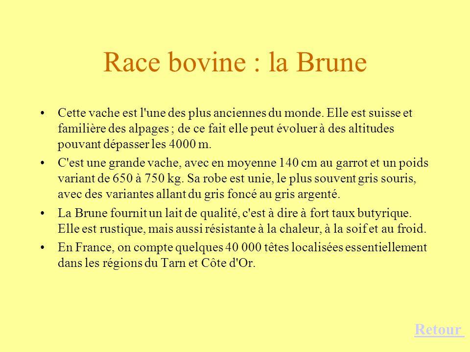 Race bovine : la Brune Retour