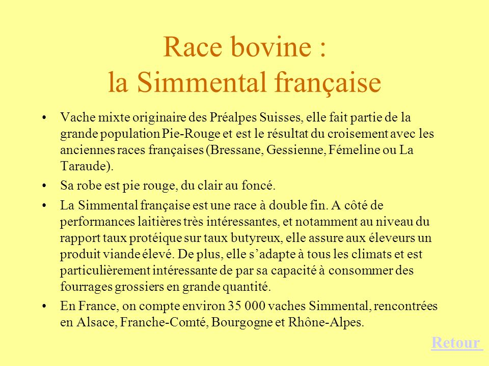 Race bovine : la Simmental française