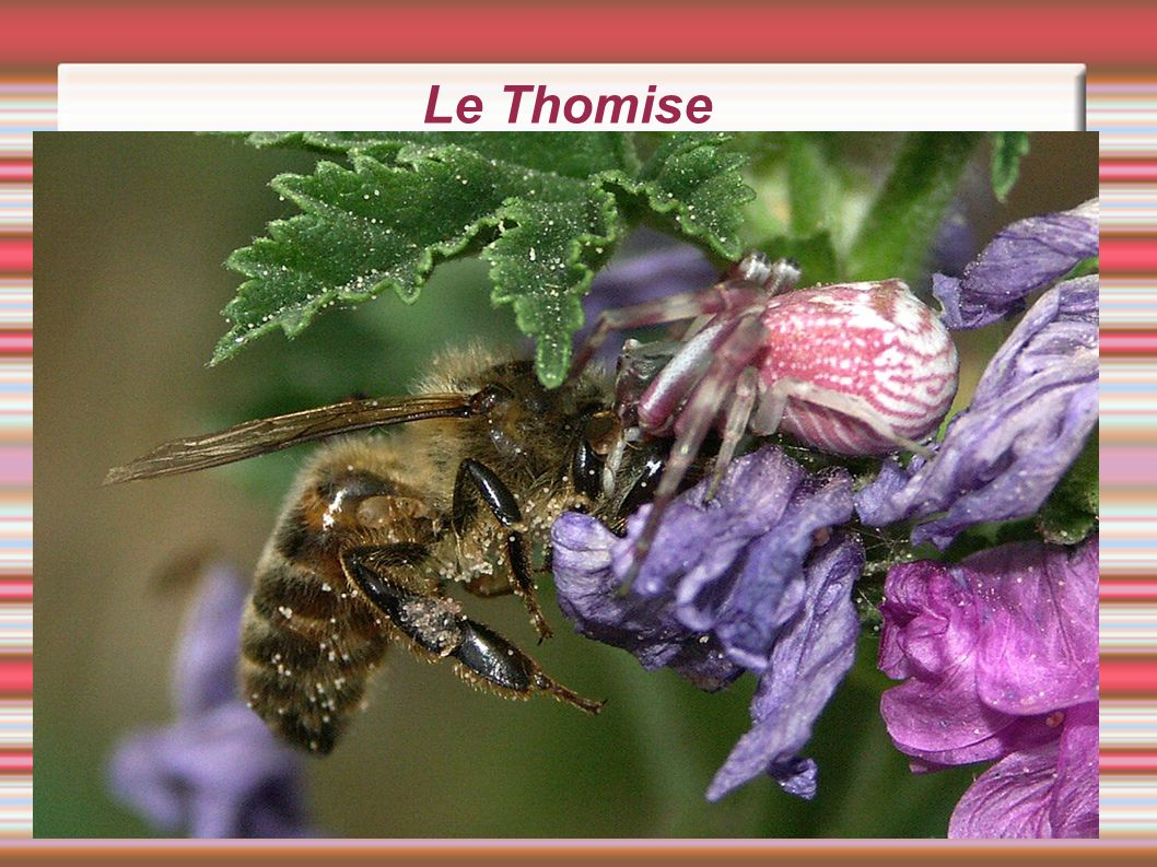 Le Thomise