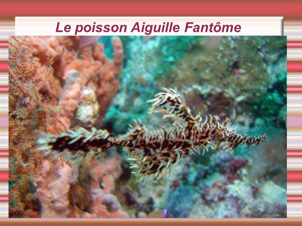 Le poisson Aiguille Fantôme