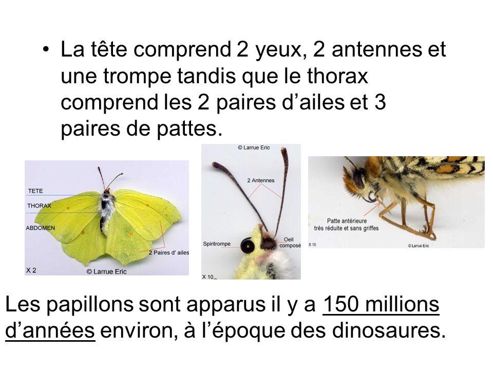 La tête comprend 2 yeux, 2 antennes et une trompe tandis que le thorax comprend les 2 paires d'ailes et 3 paires de pattes.