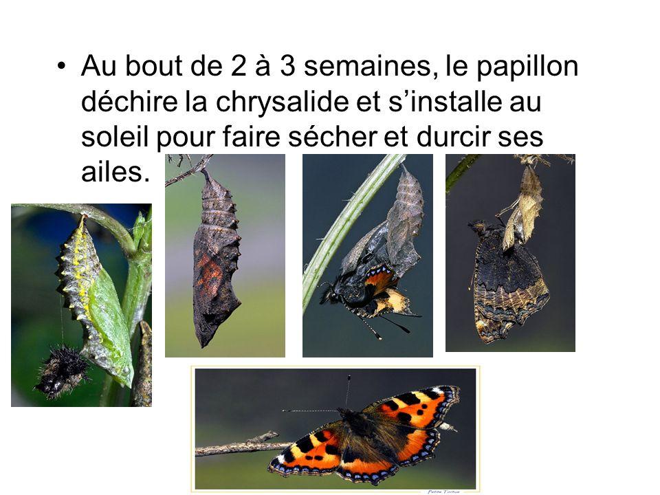 Au bout de 2 à 3 semaines, le papillon déchire la chrysalide et s'installe au soleil pour faire sécher et durcir ses ailes.