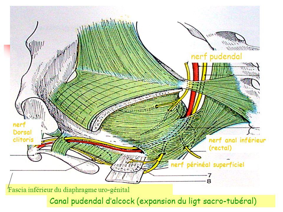 Canal pudendal d'alcock (expansion du ligt sacro-tubéral)