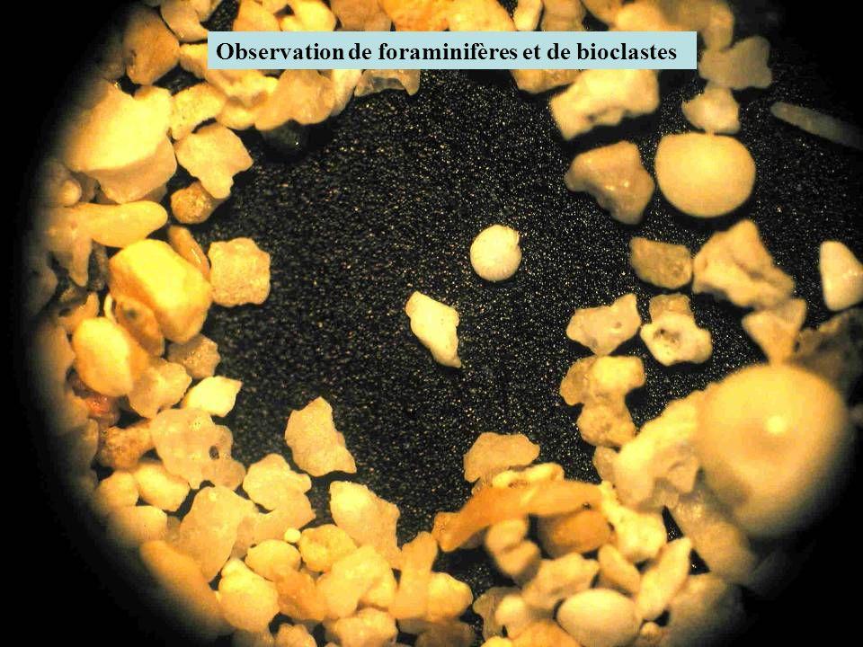 Observation de foraminifères et de bioclastes