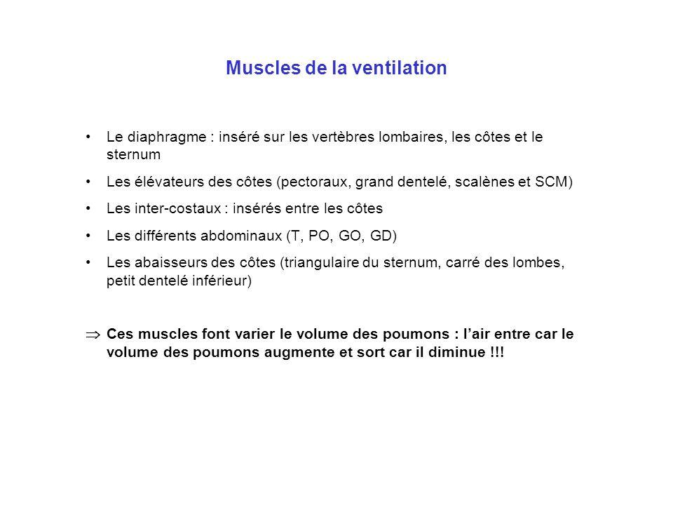 Muscles de la ventilation