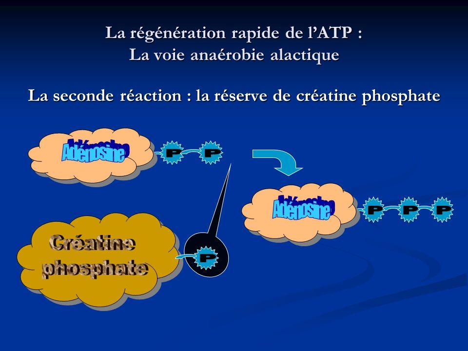 La régénération rapide de l'ATP : La voie anaérobie alactique