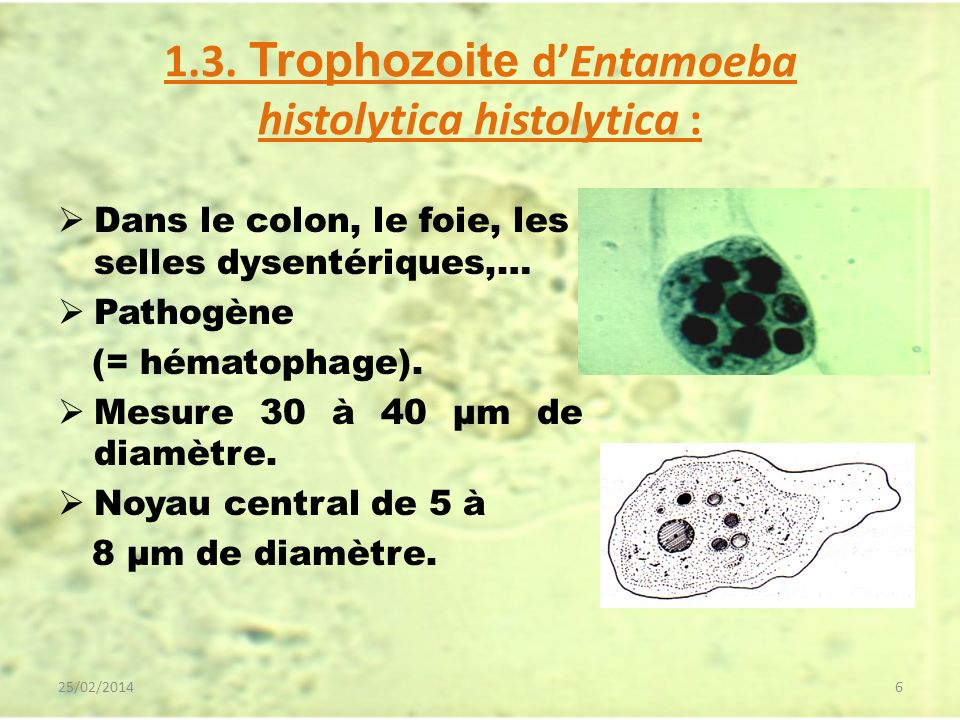1.3. Trophozoite d'Entamoeba histolytica histolytica :