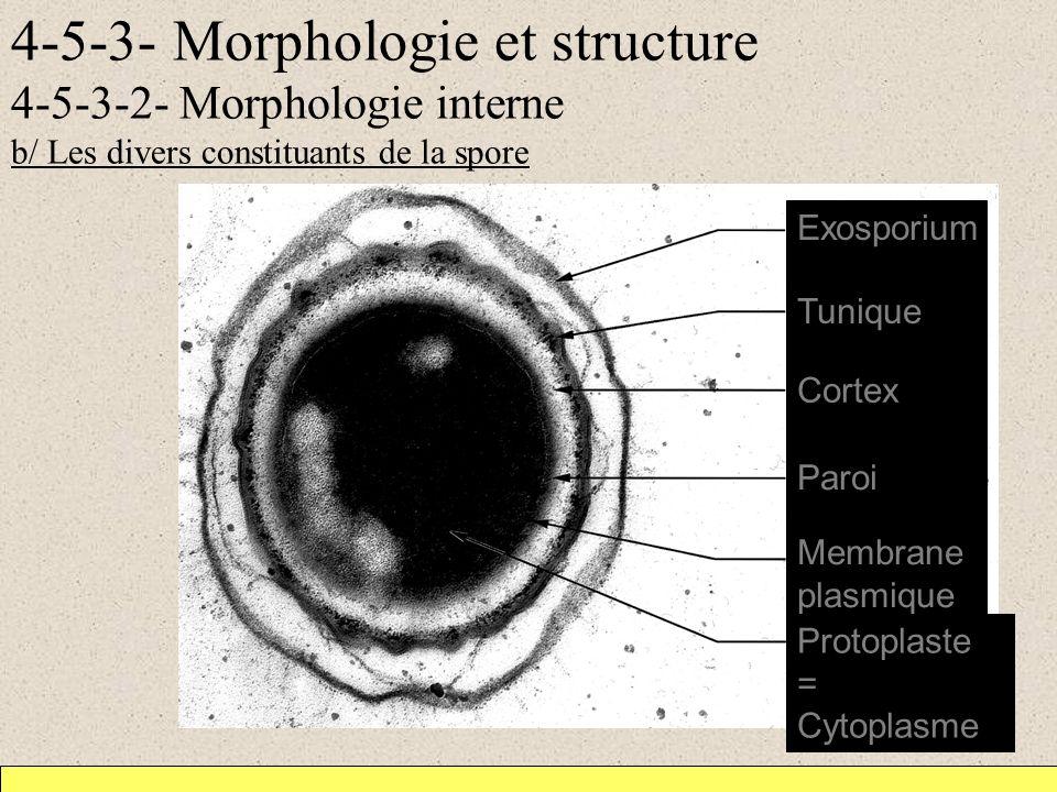 4-5-3- Morphologie et structure 4-5-3-2- Morphologie interne b/ Les divers constituants de la spore