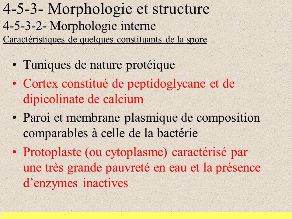 4-5-3- Morphologie et structure 4-5-3-2- Morphologie interne Caractéristiques de quelques constituants de la spore