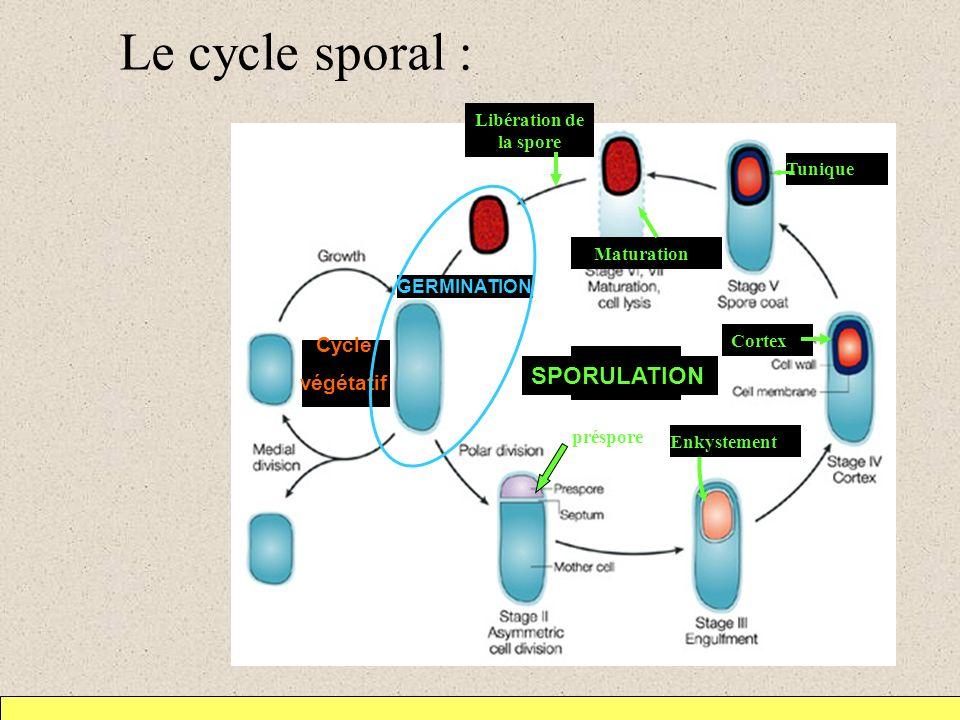Le cycle sporal : SPORULATION Cycle végétatif Libération de la spore
