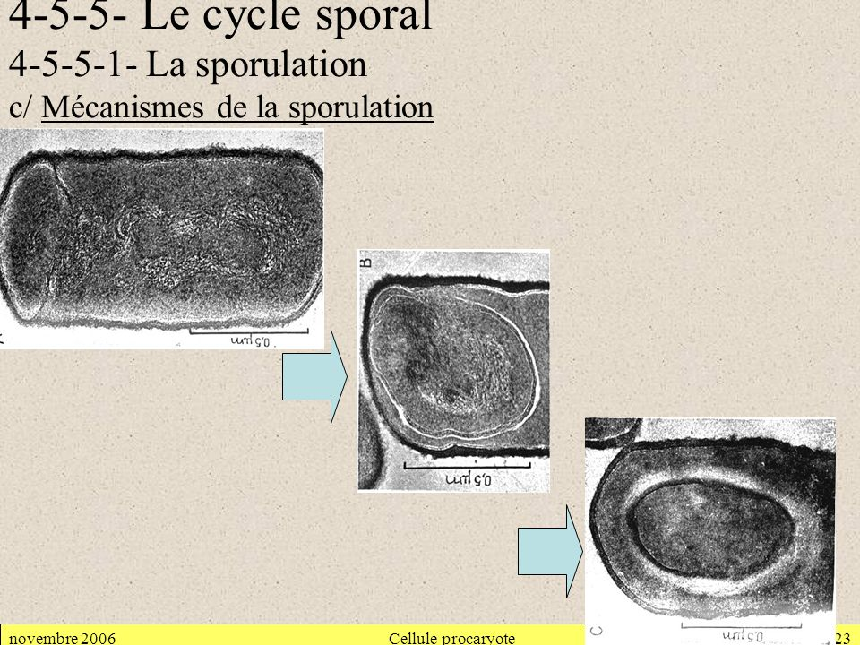 4-5-5- Le cycle sporal 4-5-5-1- La sporulation c/ Mécanismes de la sporulation