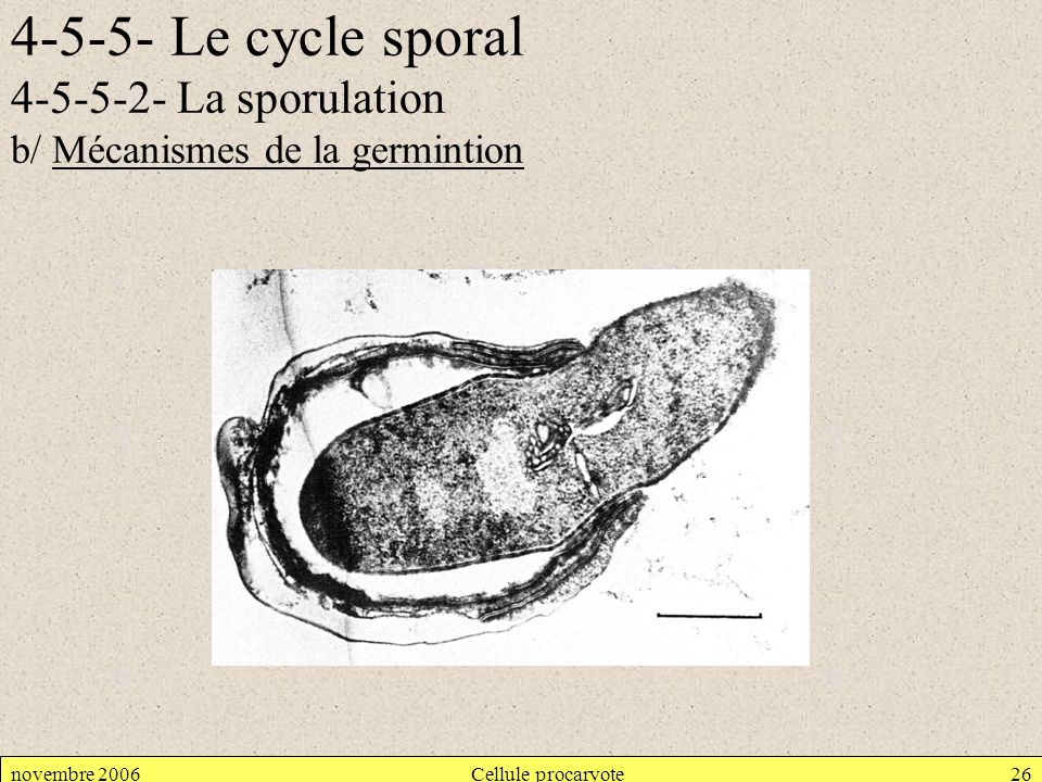 4-5-5- Le cycle sporal 4-5-5-2- La sporulation b/ Mécanismes de la germintion