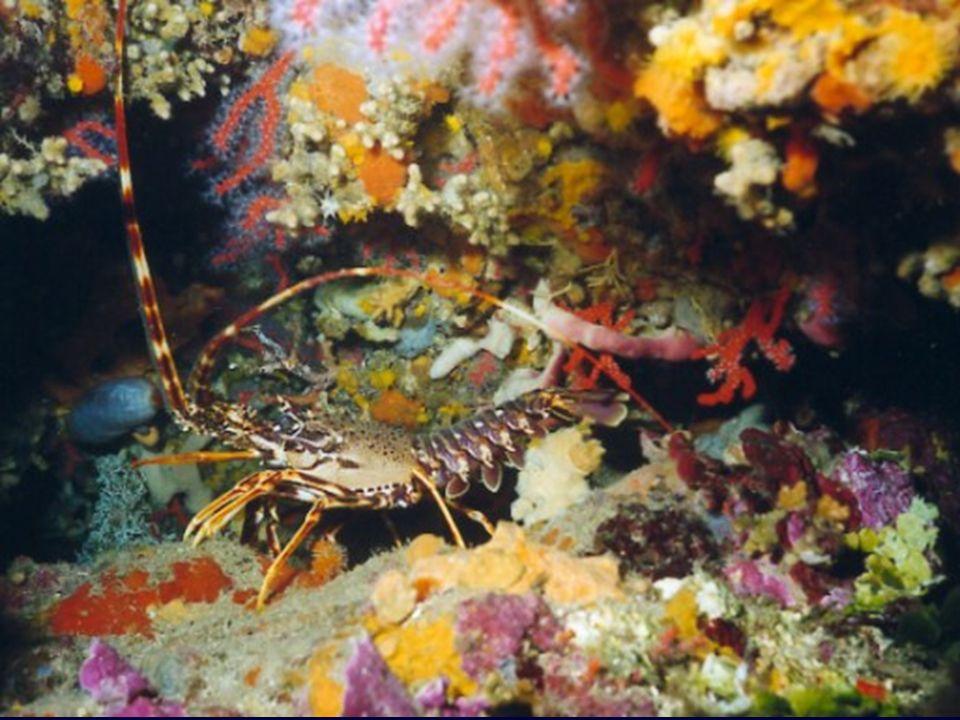 LANGOUSTE – peureuse comme animal, très timide se cache sous les roches et elle détecte, grâce à ses longues antennes, les vibrations.