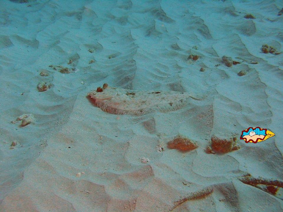 SOLE, on dit poisson plat « droitier », deux yeux du côté droit, je me repose sur mon côté gauche qui est tout blanc.