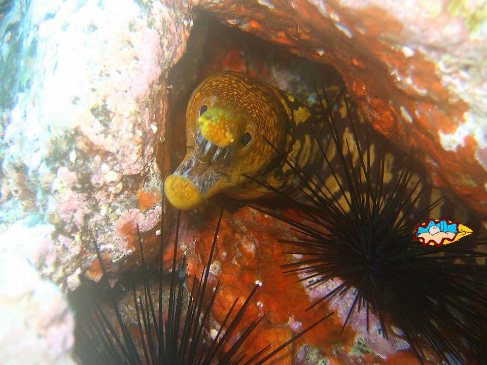 MURENE, carnassier côtier, chasse la nuit, odorat bien développé