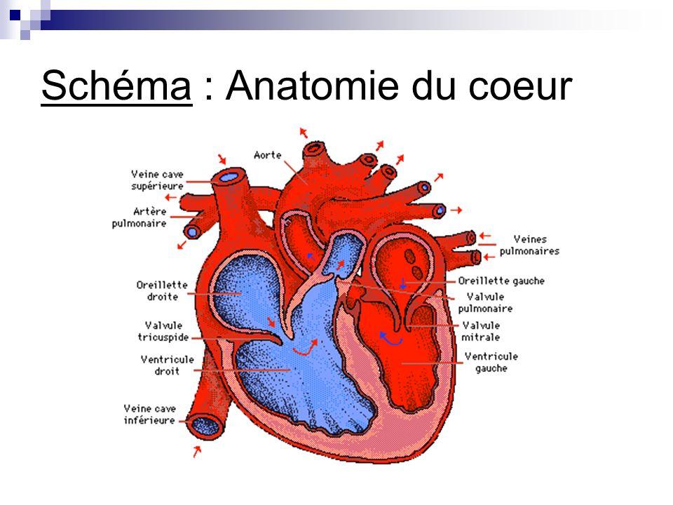 Schéma : Anatomie du coeur
