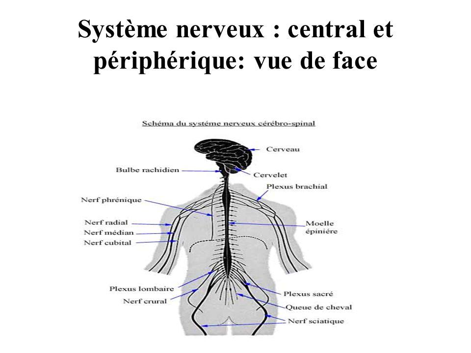 Système nerveux : central et périphérique: vue de face