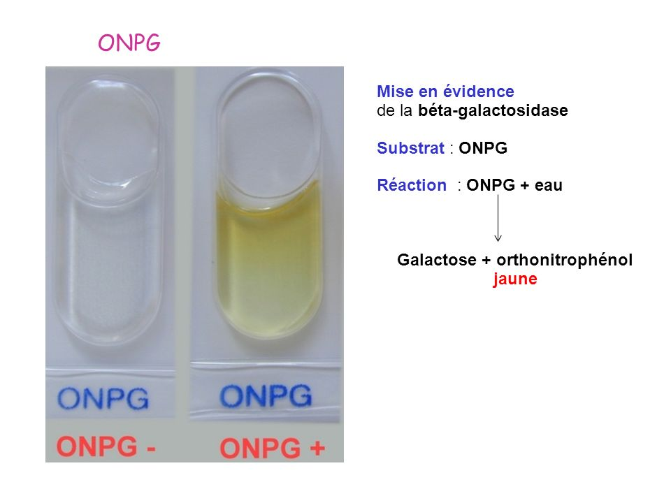 Galactose + orthonitrophénol jaune