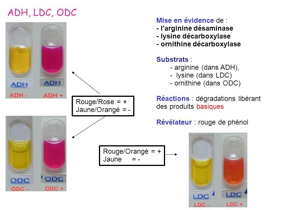 ADH, LDC, ODC Mise en évidence de : - l arginine désaminase