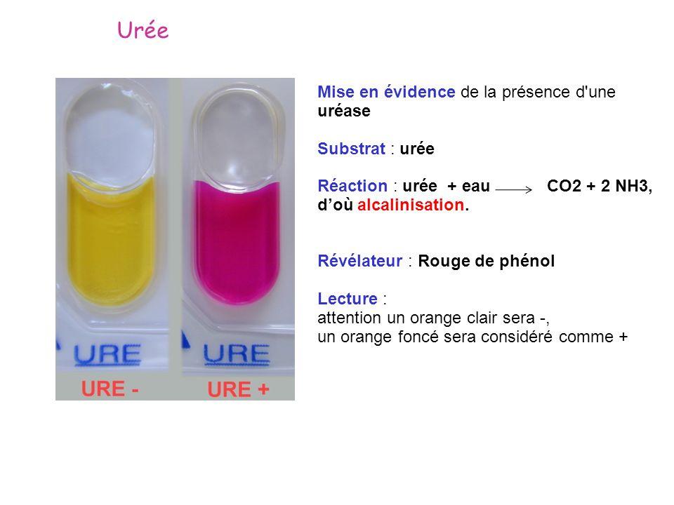 Urée Mise en évidence de la présence d une uréase Substrat : urée