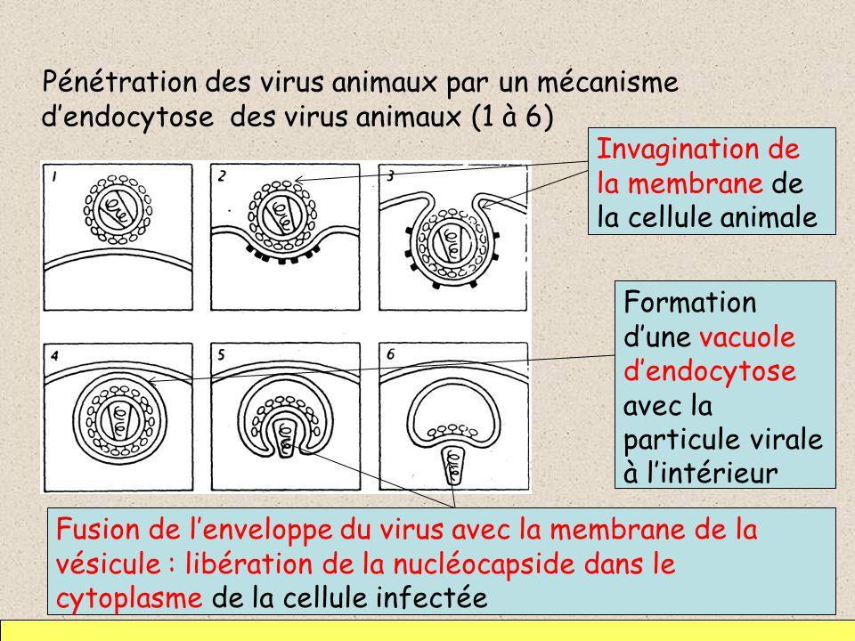 Pénétration des virus animaux par un mécanisme d'endocytose des virus animaux (1 à 6)
