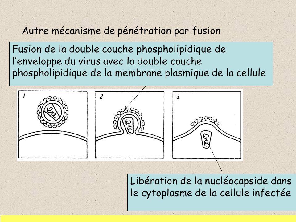 Autre mécanisme de pénétration par fusion