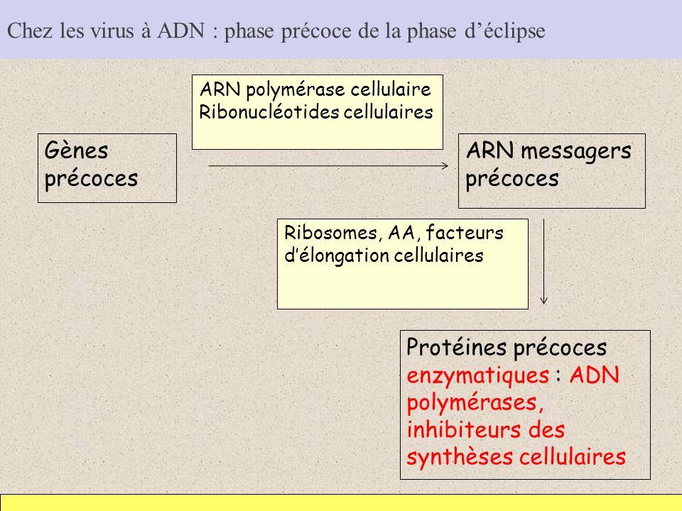 Chez les virus à ADN : phase précoce de la phase d'éclipse