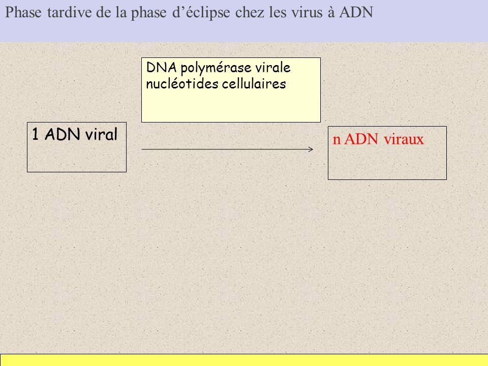 Phase tardive de la phase d'éclipse chez les virus à ADN