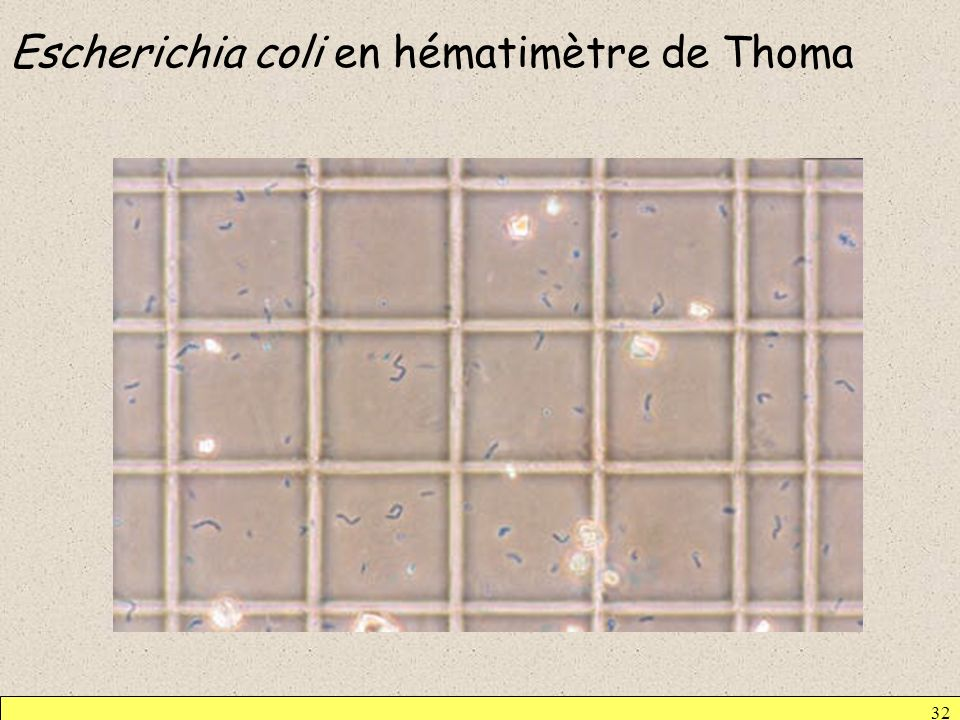 Escherichia coli en hématimètre de Thoma