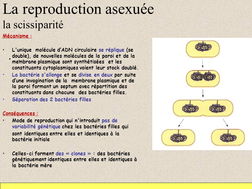 La reproduction asexuée la scissiparité
