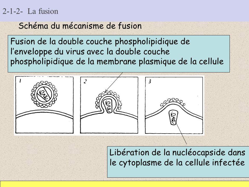 2-1-2- La fusion Schéma du mécanisme de fusion.