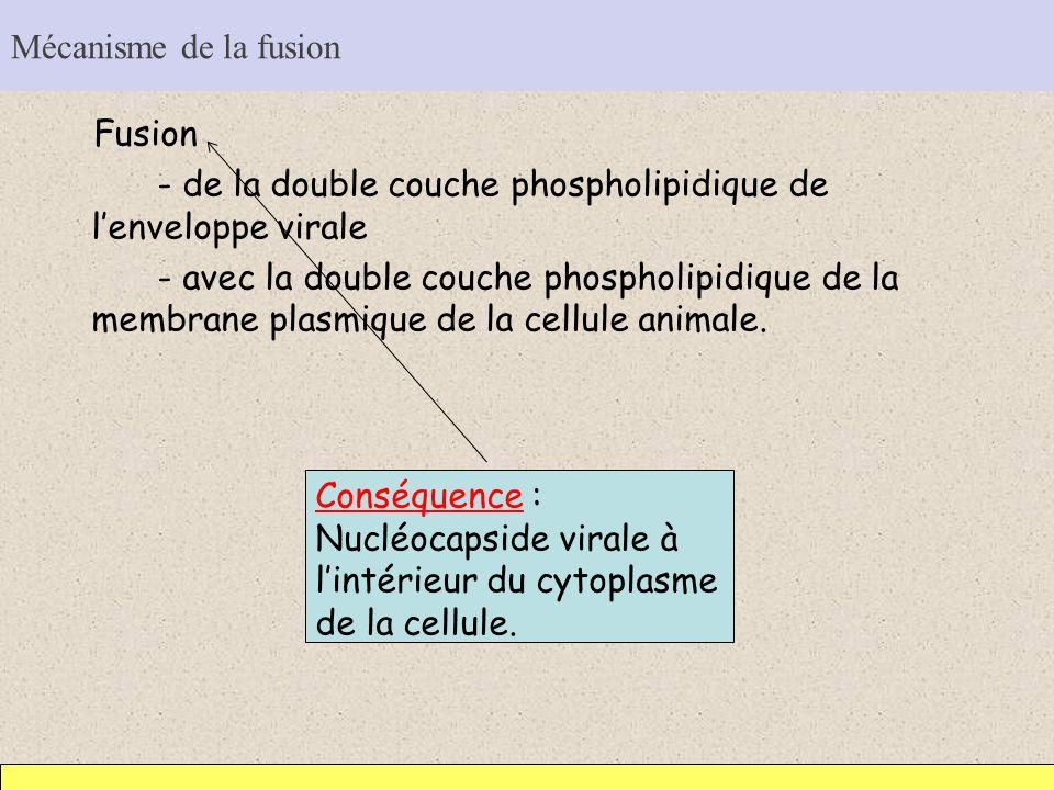 Mécanisme de la fusion