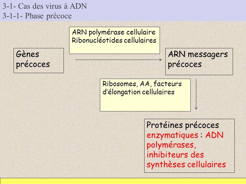 3-1- Cas des virus à ADN 3-1-1- Phase précoce