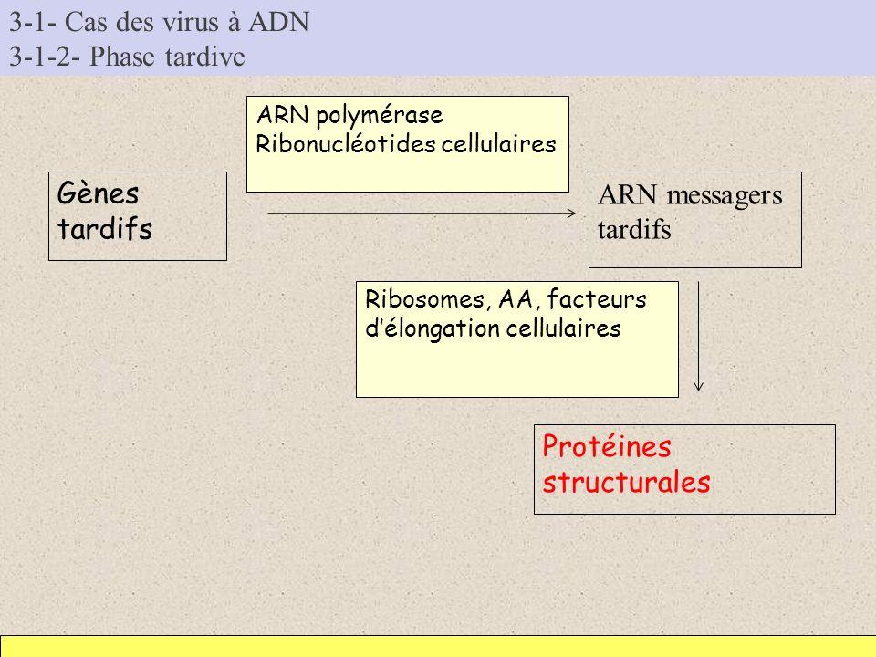 3-1- Cas des virus à ADN 3-1-2- Phase tardive