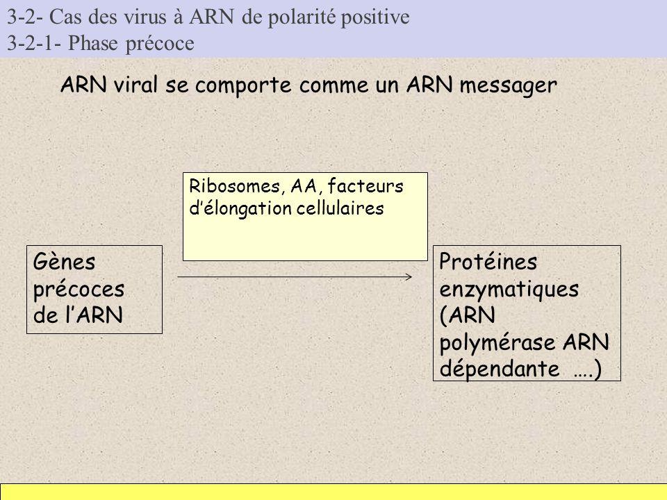 3-2- Cas des virus à ARN de polarité positive 3-2-1- Phase précoce