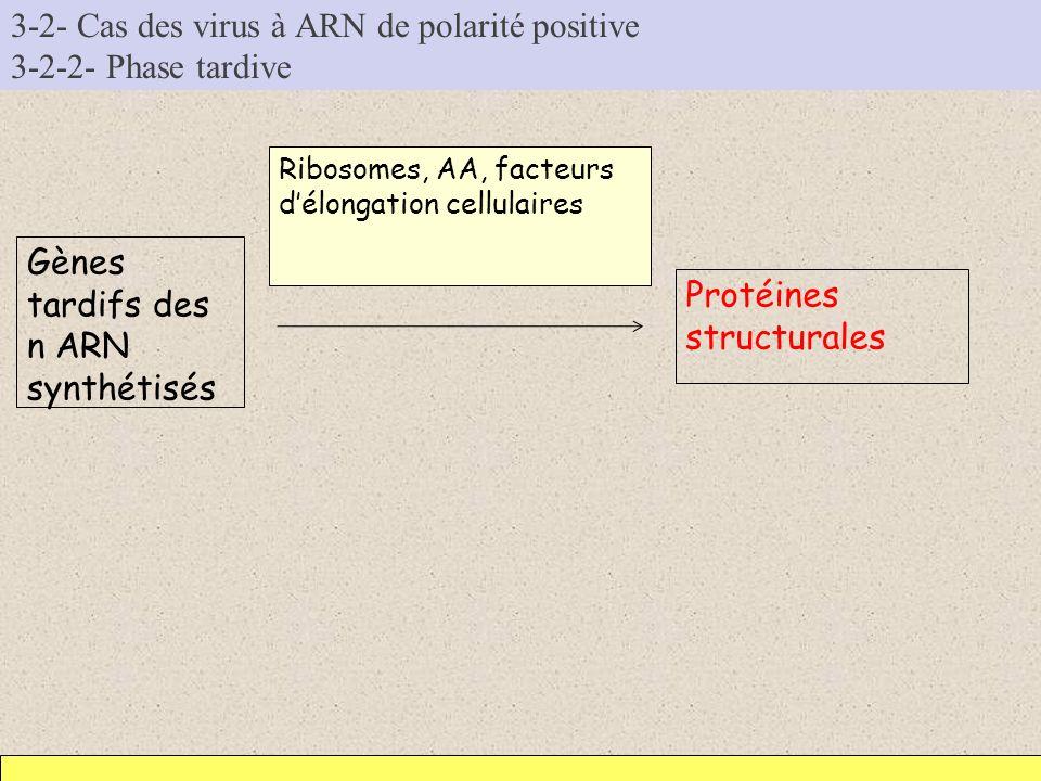 3-2- Cas des virus à ARN de polarité positive 3-2-2- Phase tardive