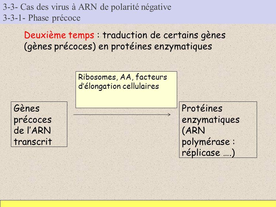 3-3- Cas des virus à ARN de polarité négative 3-3-1- Phase précoce