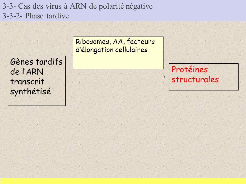 3-3- Cas des virus à ARN de polarité négative 3-3-2- Phase tardive