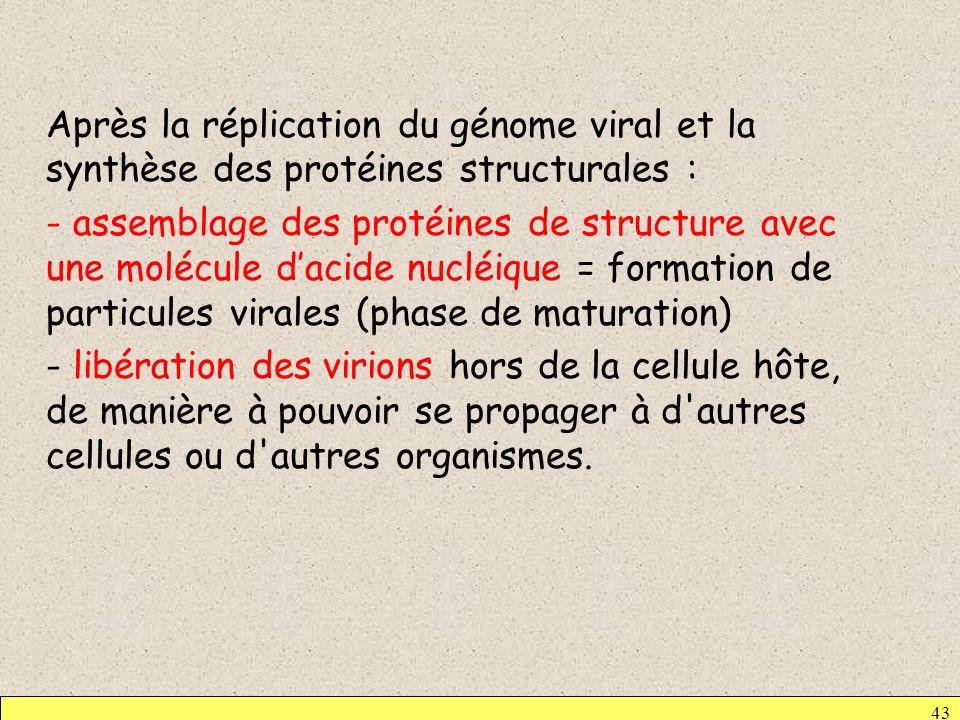Après la réplication du génome viral et la synthèse des protéines structurales : - assemblage des protéines de structure avec une molécule d'acide nucléique = formation de particules virales (phase de maturation) - libération des virions hors de la cellule hôte, de manière à pouvoir se propager à d autres cellules ou d autres organismes.