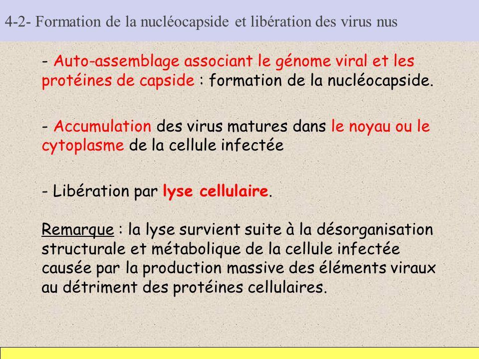 4-2- Formation de la nucléocapside et libération des virus nus
