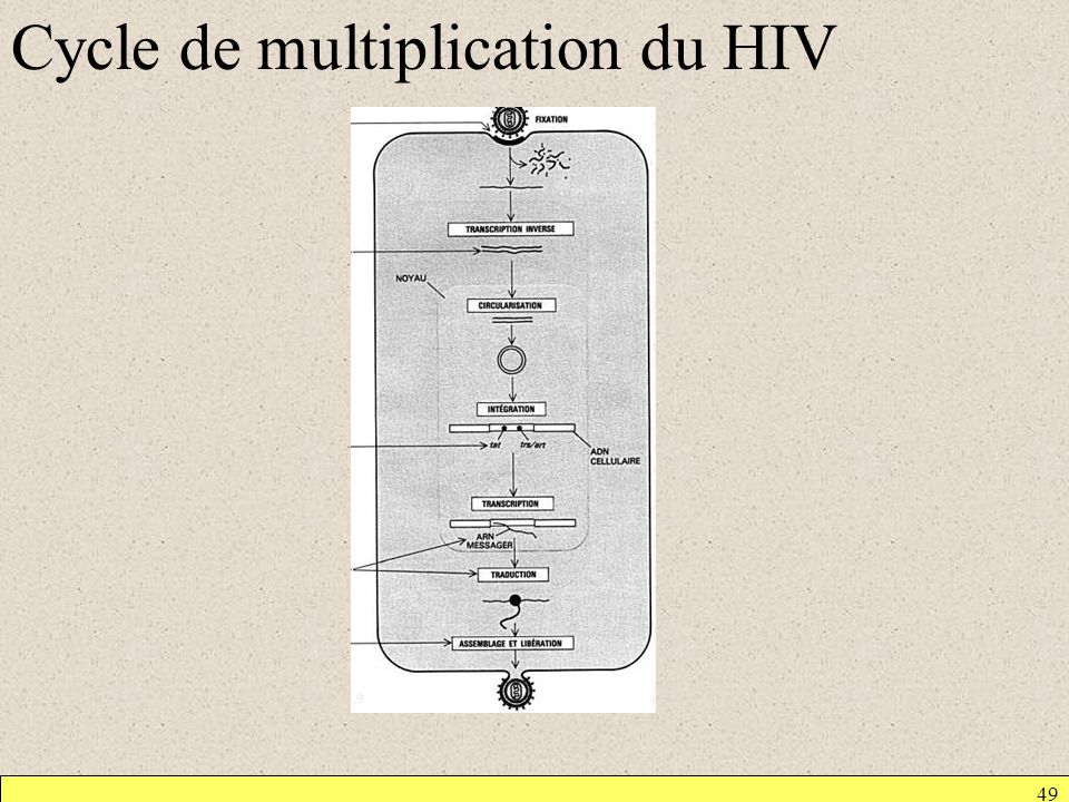 Cycle de multiplication du HIV