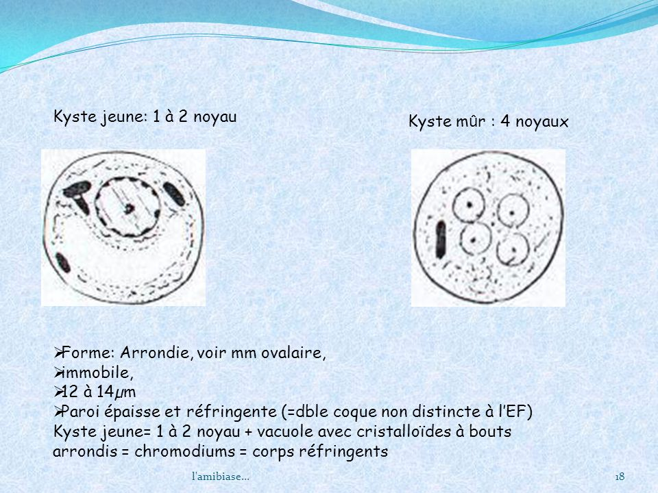 Forme: Arrondie, voir mm ovalaire, immobile, 12 à 14µm