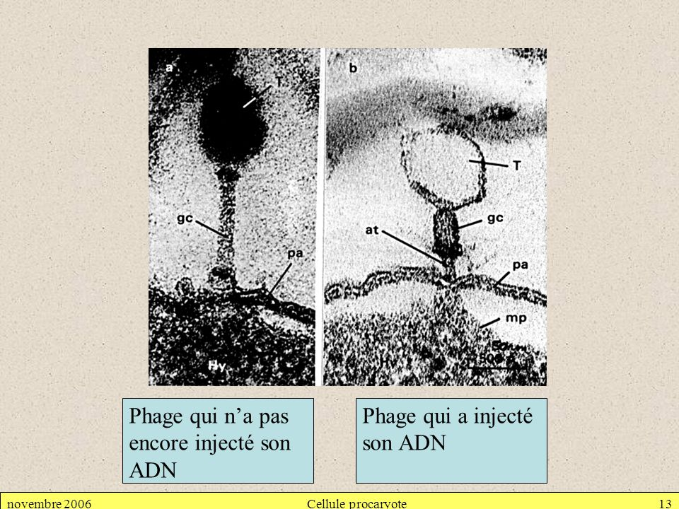 Phage qui n'a pas encore injecté son ADN Phage qui a injecté son ADN