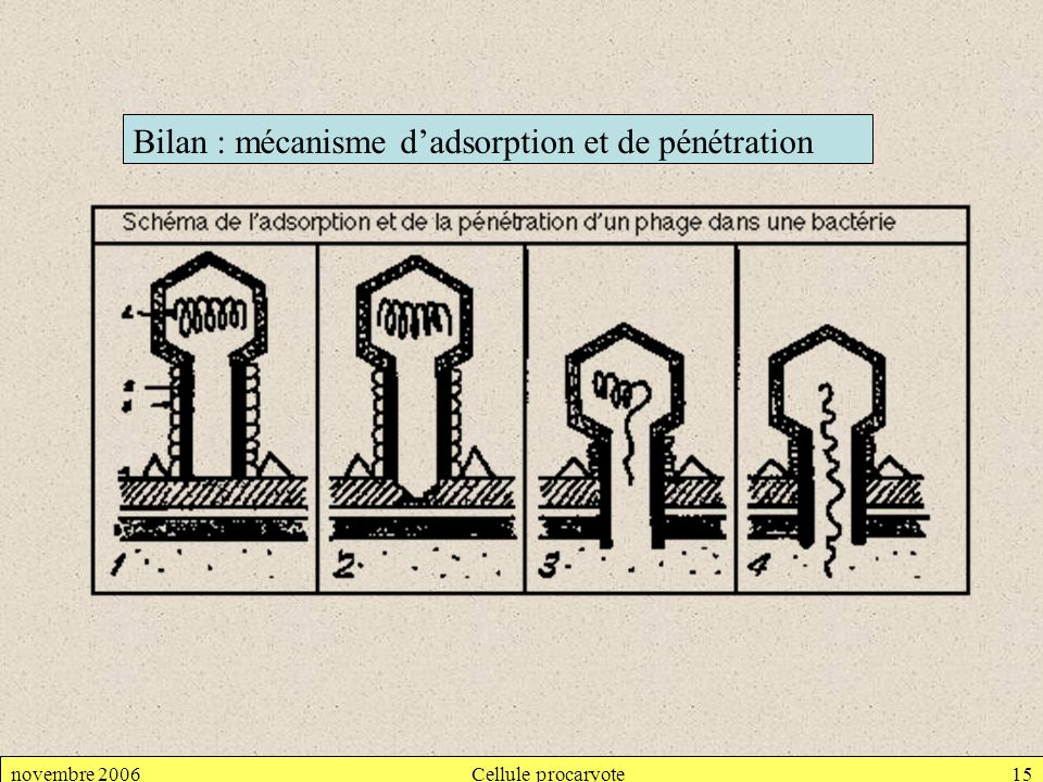 Bilan : mécanisme d'adsorption et de pénétration