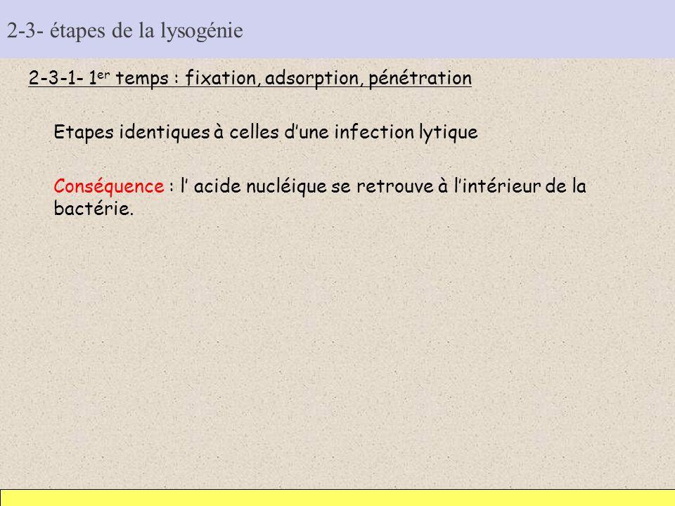 2-3- étapes de la lysogénie