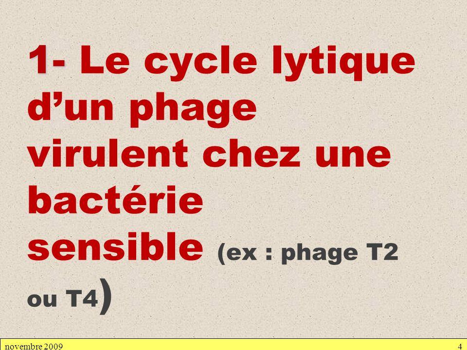 1- Le cycle lytique d'un phage virulent chez une bactérie sensible (ex : phage T2 ou T4)