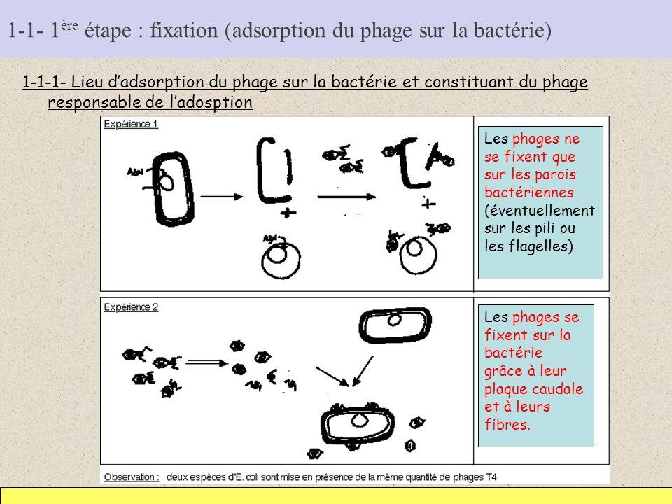 1-1- 1ère étape : fixation (adsorption du phage sur la bactérie)