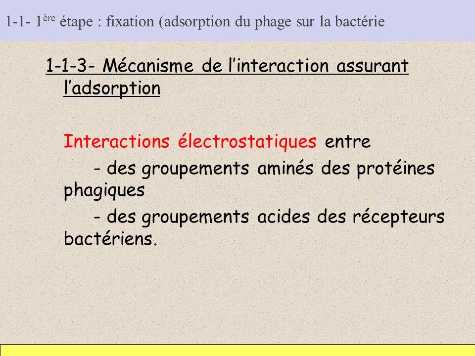 1-1- 1ère étape : fixation (adsorption du phage sur la bactérie