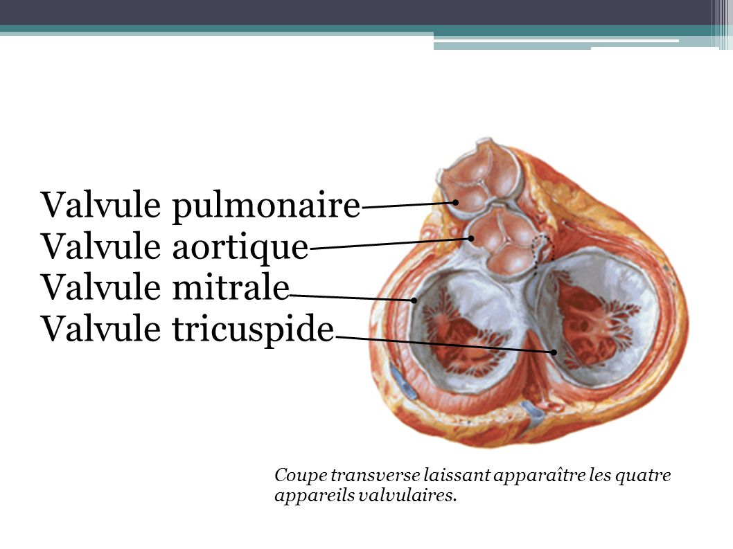 Valvule pulmonaire Valvule aortique Valvule mitrale Valvule tricuspide