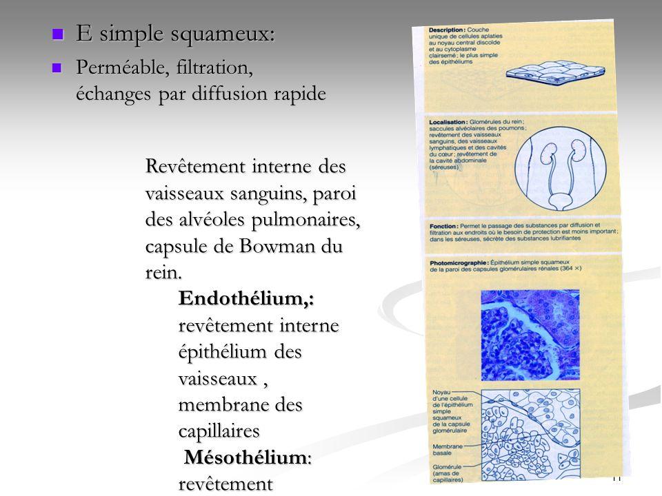 E simple squameux:Perméable, filtration, échanges par diffusion rapide.